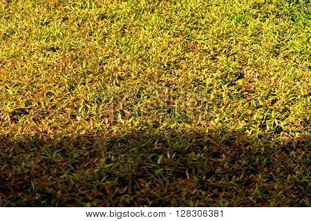 Sunlight Shadow Pass Through On Texture Of Color Shrub Leafs