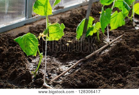 cucumbers in the greenhouse. Little cucumbers on the plants. Erly spring and garden concept.