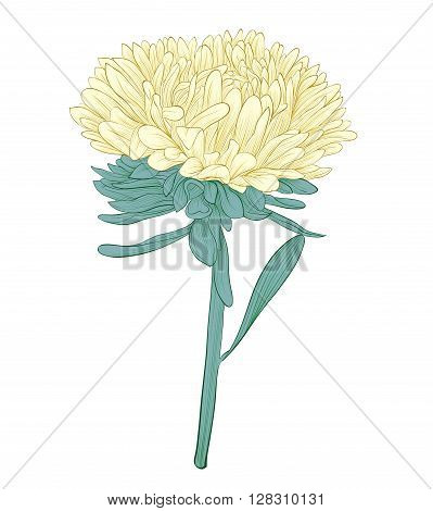 beautiful aster flower isolated on white background. Hand-drawn contour lines and strokes. Perfect for background greeting cards and invitations to the day of the wedding birthday and Valentine's