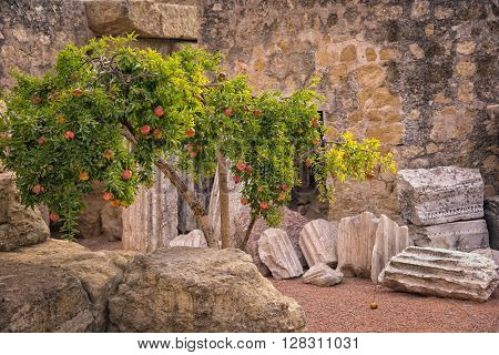 Pomegranate tree growing on the ruins of roman wall in Cordoba Spain