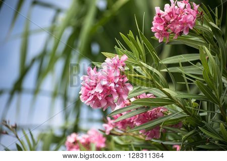 Pink Rhododendron flowers blooming in the gardens