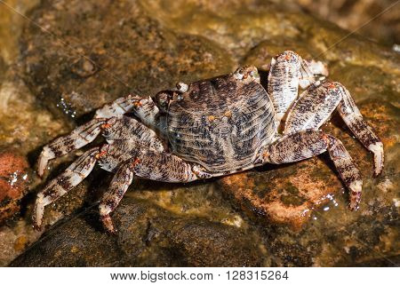 Wet sea crab sitting on the stone.