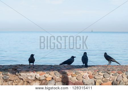 Black crows standing on the stone fence search of food on a blurred background of the sea.