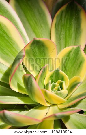 Brightly coloured, variegated Echeveria plant leaves in closeup