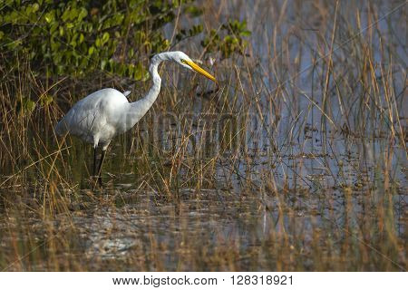 White heron stalking prey in marsh on Edisto Island, near Charleston, South Carolina.