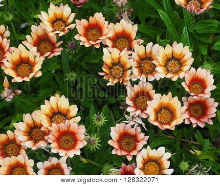 A group of Gazania flowers, slightly faded