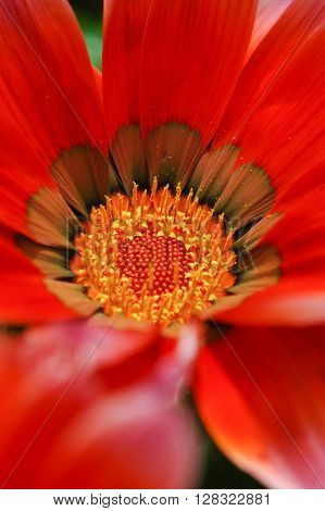 Deep orange and brown Gazania flowers, in extreme closeup