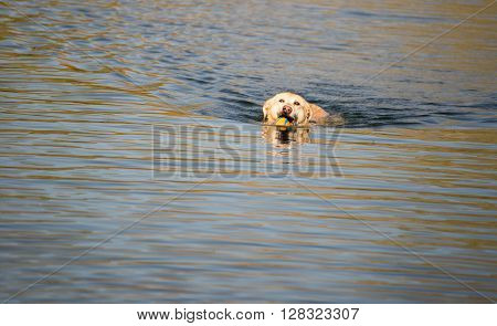 Golden Retriever in water retrieving a ball.