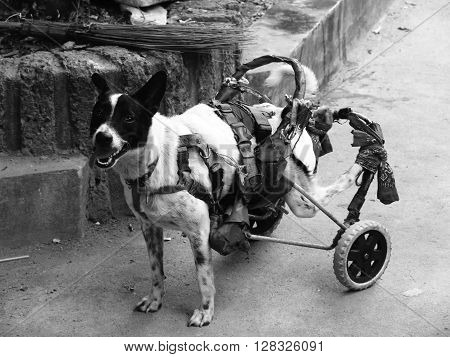 The disability dog with whellchair.Take in blackwhite shot.