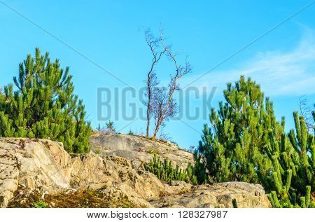 Blue sky over dry lonely tree.