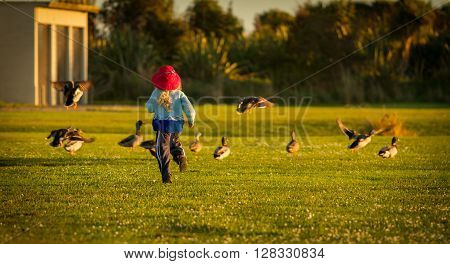 a four year old child wearing a bright red hat running and chasing ducks happily at sunset in the park.