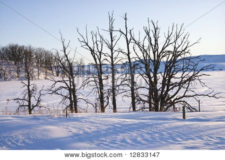 Leafless snow covered trees in winter.