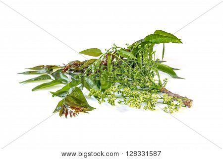 Azadirachta indica or neem tree with bunches of small flowers and leaves on white background, herbal medicine,vegetable, food.