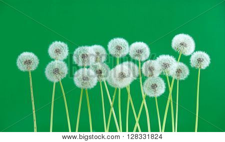 dandelion flower on green color background, many closeup object