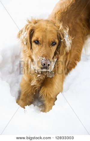 Golden Retriever with snowy snout and ears playing in snow.