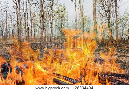 Wildfire At Forest, Burnt Tree In Flame