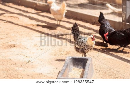 Black, buff, brown, and white chickens on a farm outside a chicken coop pecking and foraging for food.