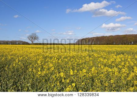a yellow flowering canola field with a springtime woodland copse under a blue cloudy sky in the yorkshire wolds
