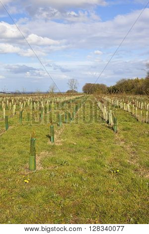 a sapling plantation near a woodland with a view of the vale of york under a blue sky in springtime