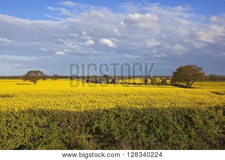farm buildings surrounded by flowering yellow canola with oak trees and a hawthorn hedgerow in the foreground under a blue sky in springtime
