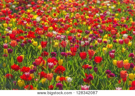 red tulip field close up