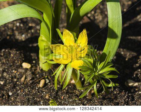 Winter aconite Eranthis hyemalis blooming macro selective focus shallow DOF