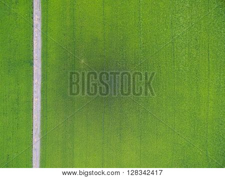 Aerial View Of Rice, Fields Agricultural Landscape Of Asia Thailand And Path Way, Top And Birdeyes V