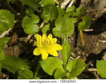 Blooming lesser celandine Ficaria verna Ranunculus ficaria close-up selective focus shallow DOF