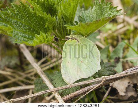 Common Brimstone Gonepteryx rhamni butterfly hiding under leaves macro selective focus shallow DOF