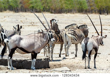 Oryx Gazella And Zebra In Etosha