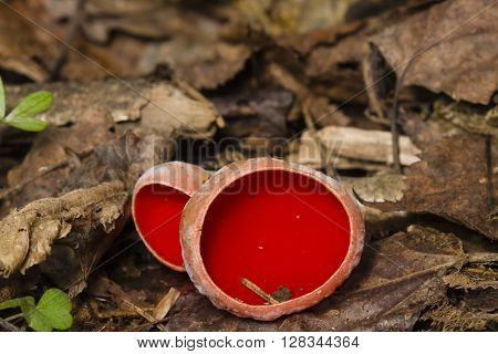 Sarcoscypha coccinea Peziza scarlet on ground with dry leaves and moss macro selective focus shallow DOF