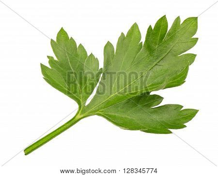 Branch of fresh parsley. Sprig of parsley isolated on white background. Seasoning herb fresh parsley