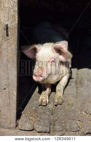 Picture Of Nose Pig Inside The Piggery Standing In The Sun. Work On The Farm, Caring For The Animals