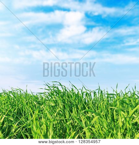 green grass closeup and blue sky. soft focus