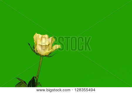 One Rose  On A Green Background