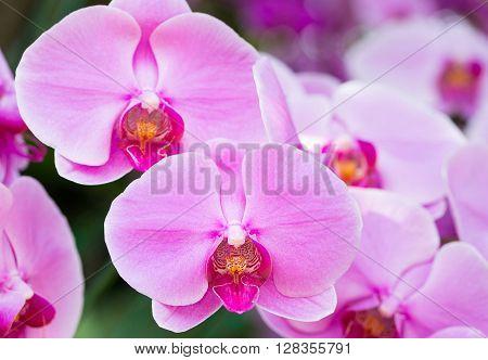 Purple phalaenopsis orchid flower in the garden