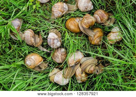 Many snails crawling through the grass in the garden