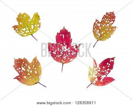 Set of five fall colored viburnum leaves perforated by pest insects isolated on white