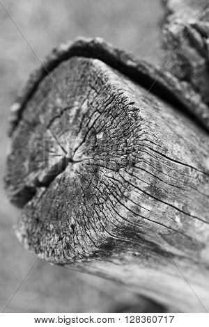 Old tree stump in the forest with cracks bizarre shape close-up.