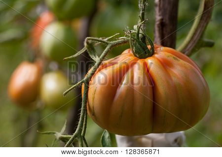 Organic heirloom tomatoes on a bush. Shallow dof
