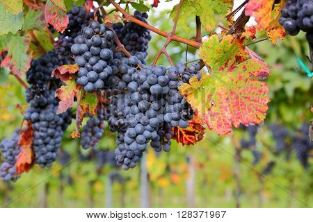 Mature red grapes in a natural vineyard