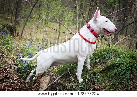 White Bullterrier on nature in the forest