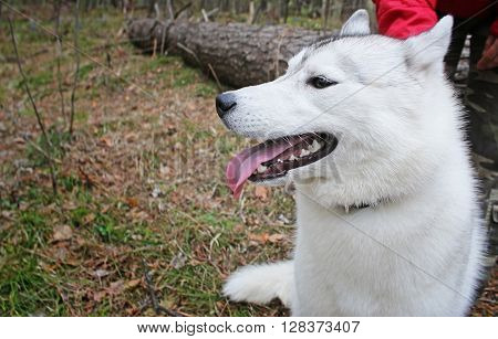 Siberian husky on nature on the forest