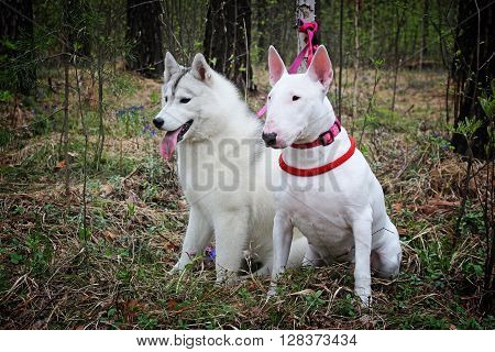 Bullterrier and Siberian husky - on nature