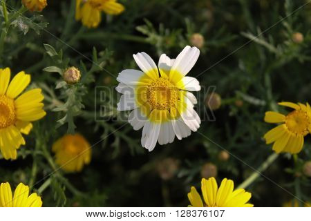 beautiful background daisy flower plant spring garden