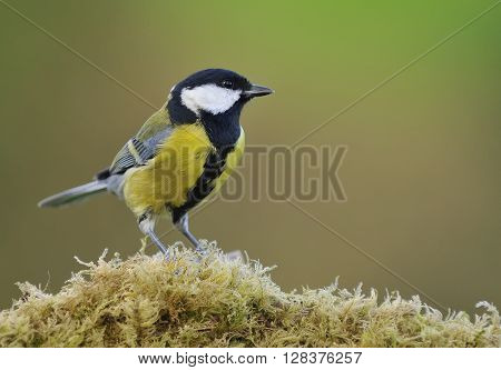 Great Tit On Fern