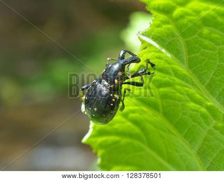 Hylobius abietis or the large pine weevil is a beetle belonging to Curculionidae family