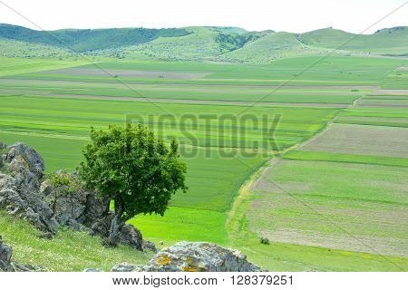 Lonely tree and green wheat field in spring