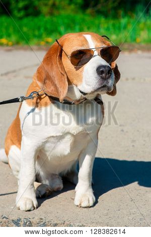 beagle dog in sunglasses on the walk in the park outdoor