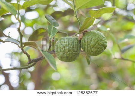 Bergamot on Tree in gaden bergamot (Kaffir Lime) fruits